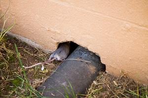 muizen voorkomen